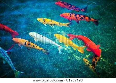 Colorful Koi Fishes