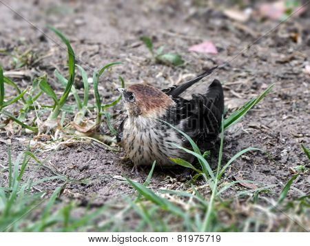 Greater Striped Swallow Fledgling