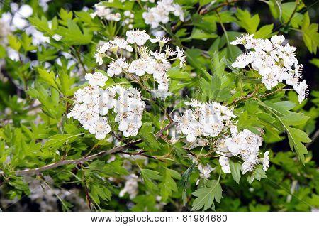 Flowers Of Common Hawthorn (crataegus Monogyna)
