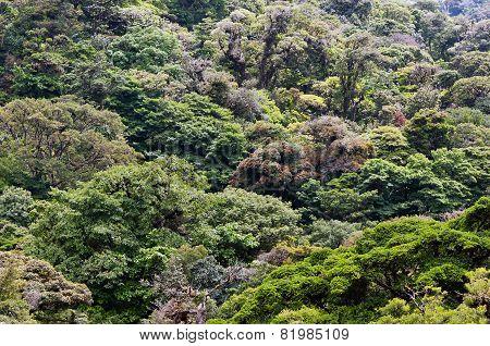 Mountain Rainforest Canopies