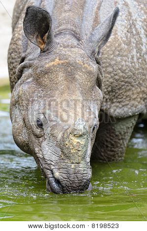 Indian Rhinoceros - (Rhinoceros unicornis)