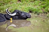 Buffalo resting in the water in a sunny summer day. poster