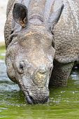 The Indian rhinoceros has come into water to get drunk poster