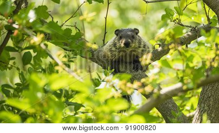 Groundhog (Marmota Monax). Woodchuck, or Whistlepig in a Tree. Sunshine.