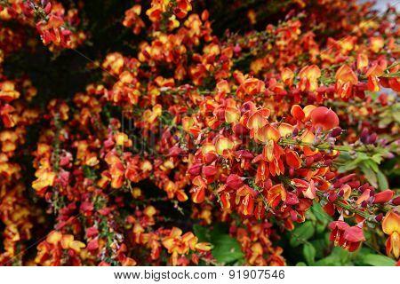 Dense spray of red broom flowers (cytisus scoparius) in selective focus poster