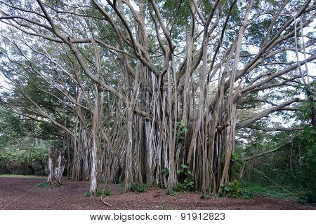 Giant Arbor Of Old Banyan Tree