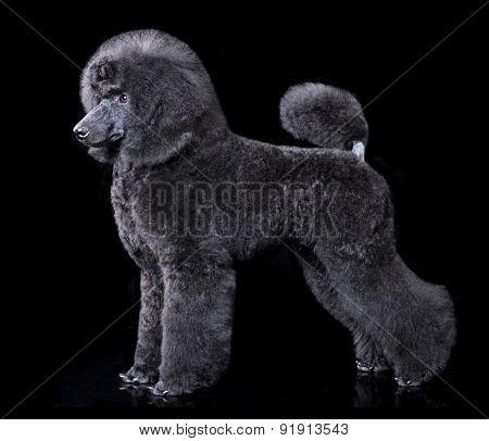 black poodle, portrait