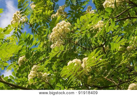 Blossoming Rowan Tree With Green Leaves Against Clear Blue Sky
