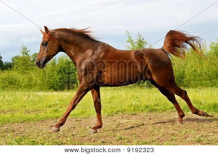 Proud red arabian horse gallop play on the meadow