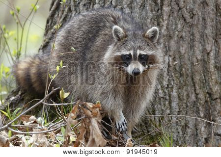 Raccoon In A Forest