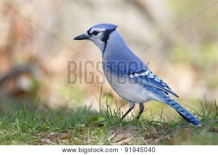 Blue Jay Perched On The Ground