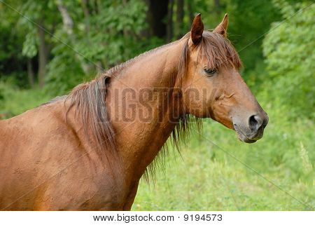 Portrait Of A Beautiful Red Hack Stallion