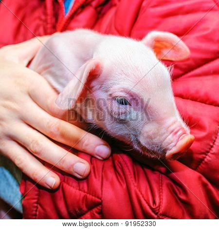 pig in the hands
