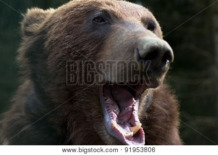 Brown Bear With Open Mouth
