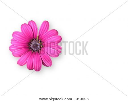 Pink Isolated Flower