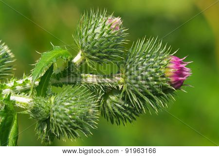 burgeons of thistle (carduus)