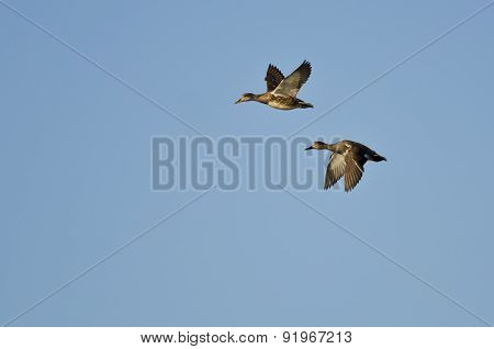 Pair Of Gadwalls Flying In A Blue Sky
