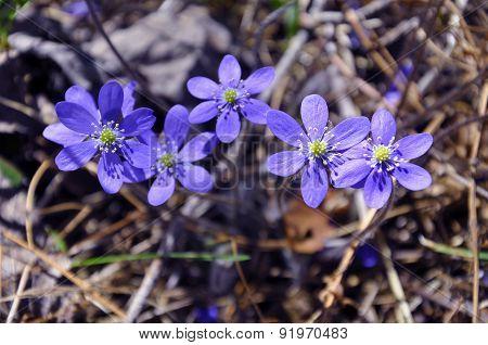 Five blue wildflowers (Hepatica nobilis) liverwort in forest meadow in spring Sweden. poster