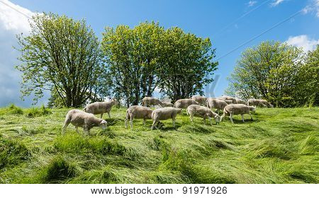 Small Flock Of Sheep Grazing On The Dike