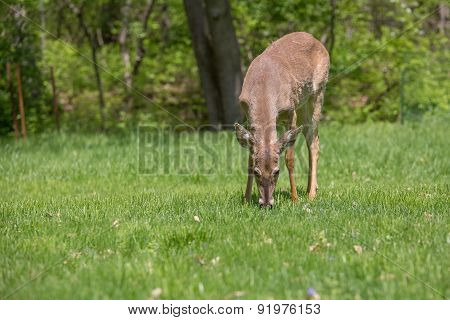 A Young Buck Grazing On Grass