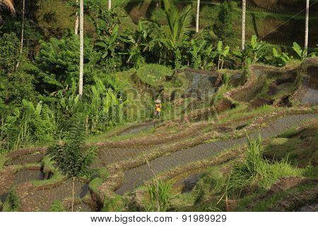 Rice terraces indonesia