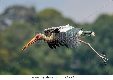 Painted Stork Gliding
