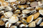 this picture is a group of shellfish poster