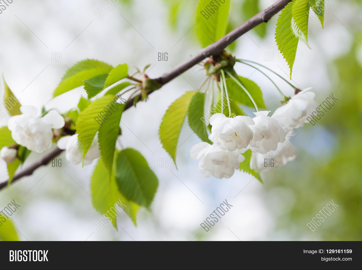 Blooming Plumleaf Crab Image Photo Free Trial Bigstock