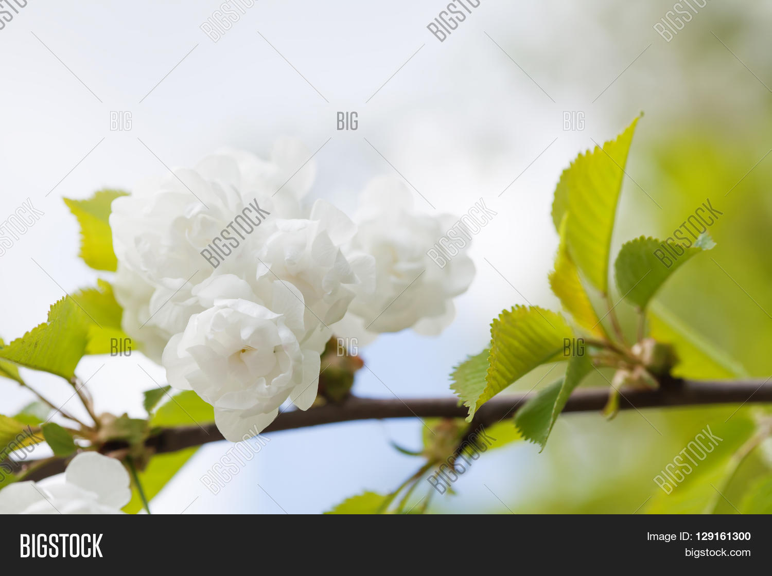 Blooming chinese apple image photo free trial bigstock blooming chinese apple branch with white flowers and green leaves crabapple tree malus prunifolia mightylinksfo