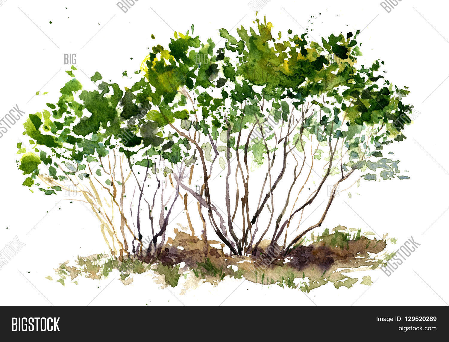 Green Bushes Drawing Image Amp Photo Free Trial Bigstock