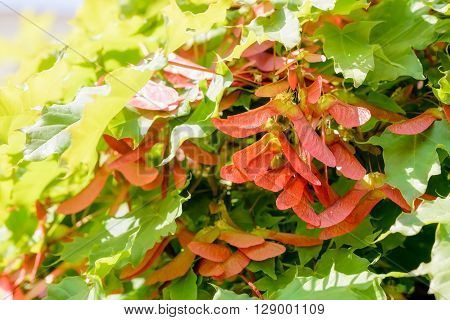 Close up detail of maple tree Acer circinatum red samara on a background of green leaves illuminated by a strong spring sun