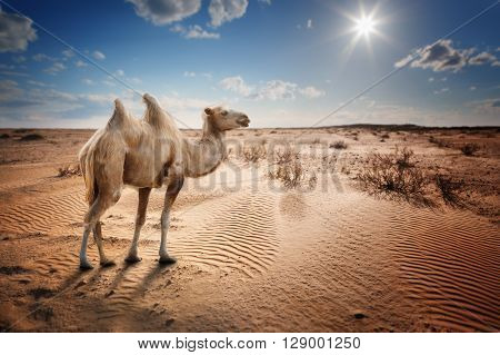 Bactrian camel in the desert under a blue sky with clouds and sun