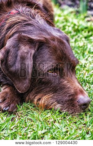 Head shot of brown labradoodle at rest
