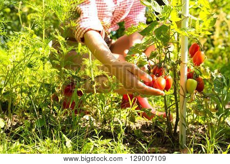 A young woman harvesting organic Tomatoes in her Garden.