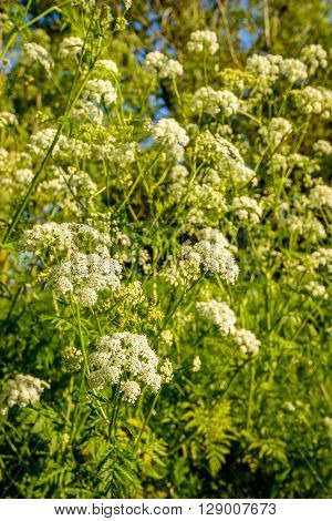 Closeup of budding blossoming and overblown cow parsley or Anthriscus sylvestris on a sunny day in the beginning of the spring season.