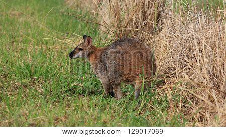 Wallaby grazing on a farm near Wauchope.