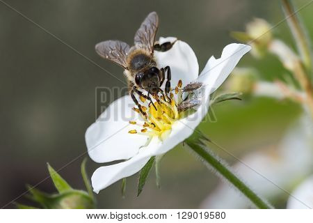 A bee collects ardent on the white flowers.