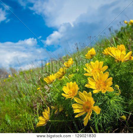 flower Adonis on background of blue sky