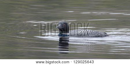 Common Loon - Gavia immer - on an overcast day on a lake in Northern Ontario, swims slowly on the surface looking for fish.