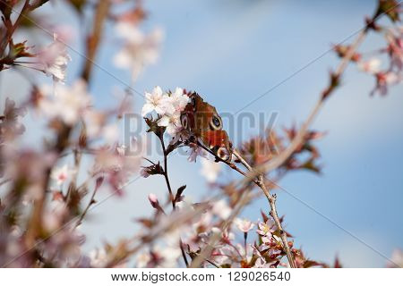 peacock butterfly on cherry blossom trees soft focus ** Note: Shallow depth of field