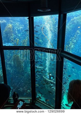 MONTEREY - MARCH 2: Visitors view a diver and fish at feeding time in the Kelp Forest tank at The Monterey Bay Aquarium the on March 2, 2016 in Monterey, California, USA.