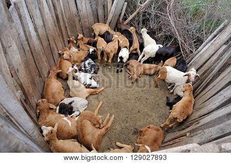 Sheep In The Masai Tribe