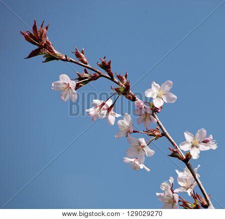cherry blossom (sakura) - Hanami beginning soft focus