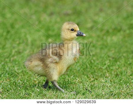 Litte fluffy Greylag gosling (Anser anser) walking in grass in its habitat