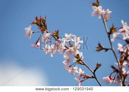 cherry blossom (sakura) - Hanami beginning soft focus ** Note: Shallow depth of field