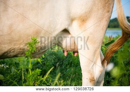 Udder of a young cow bunch, bevy,