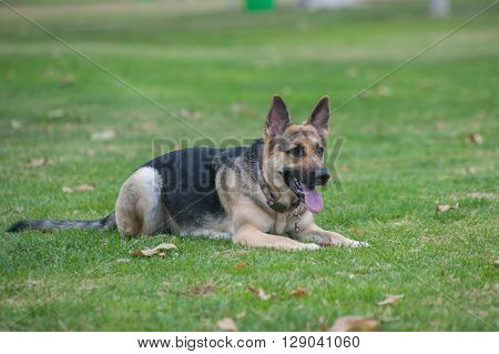 German Shepard puppy relaxing in the grass while looking right.