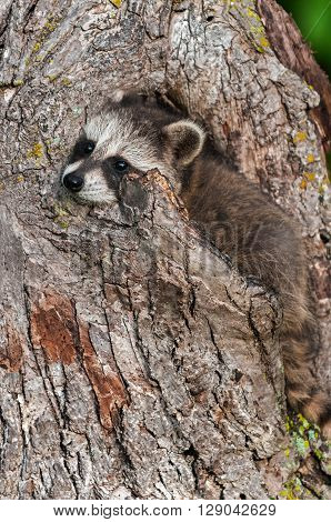 Young Raccoon (Procyon lotor) Wedged in Knothole - captive animal