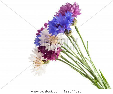 Flowers cornflowers on a white backgrounddesign, florescence,