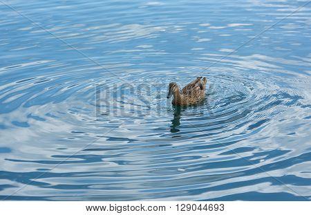 Blue minimalist waterscape with one duck,minimalist misty lake, one duck swimming  over sunrise lake, evening mist covering lake, Marsaxlokk